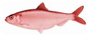 Logical Fallacy Series — Part 5: Red Herring